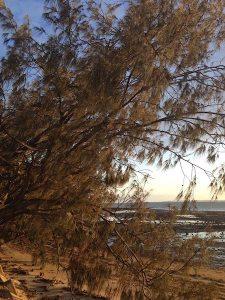 Casuarinas on Mason's Beach