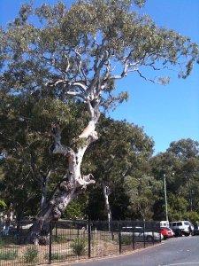 62 - Agnew tree at the One Mile, Stradbroke Island