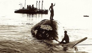 whale carcass being drawn up the flensing deck at Tangalooma in the 1950s