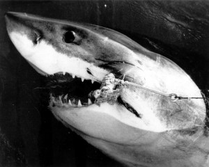 White Pointer shark caught in Moreton Bay in 1951 by Jack Little