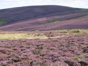 The heather on the hills