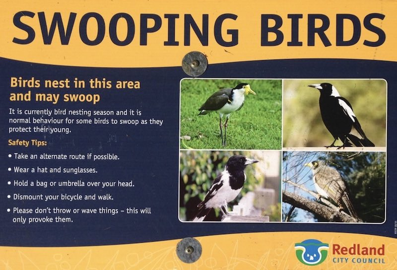 Cyclist dies while fleeing swooping magpie in Woonona ...  |Australia Swooping Birds Sign